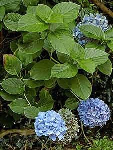 Гидрангия фото цветов