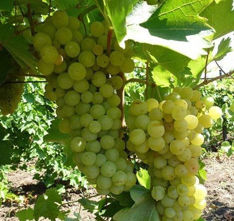 Прибалтийские сорта винограда