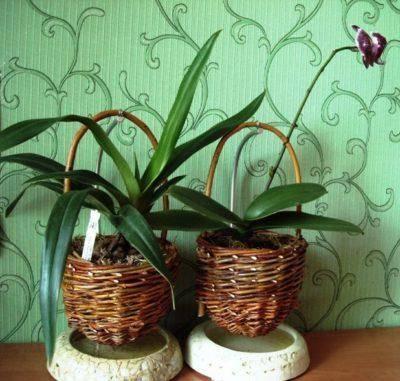 Какой горшок нужен для орхидеи фаленопсис