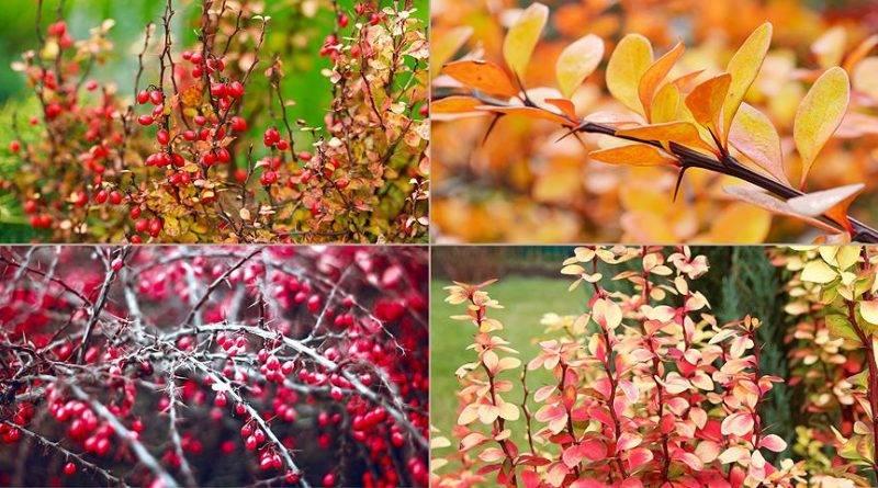 Листья каких деревьев покраснели