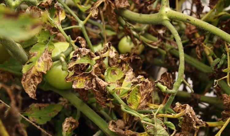 Болезни томатов фото описание лечение