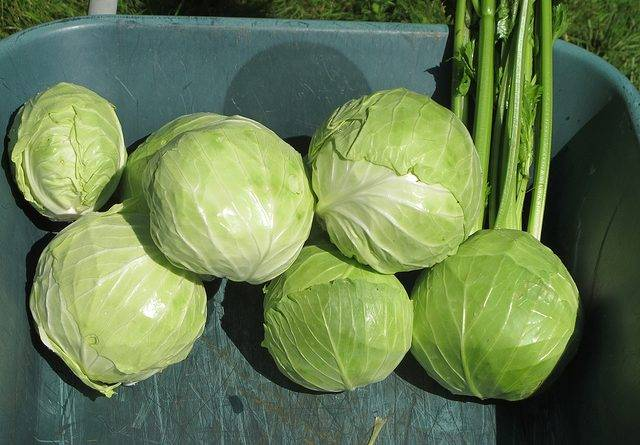 Зимние сорта капусты для хранения