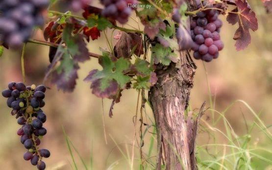 Как утеплить виноград на зиму в подмосковье