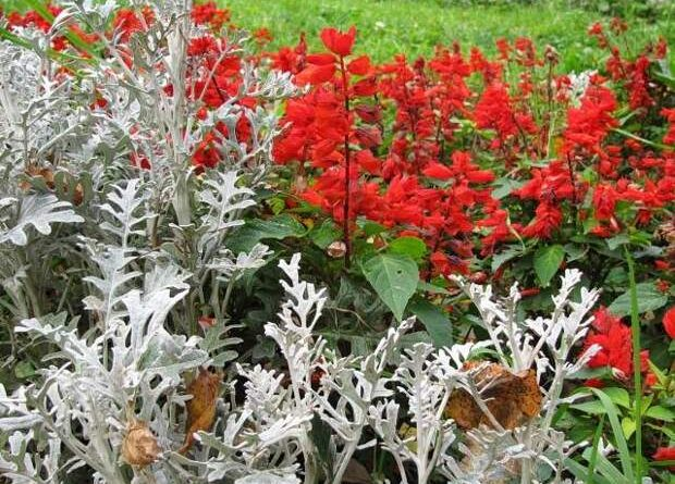 Красные цветы для клумбы фото и названия