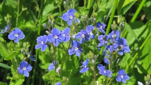 Растение с голубыми цветочками
