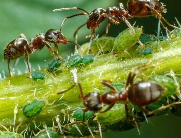 Садовые муравьи борьба с ними