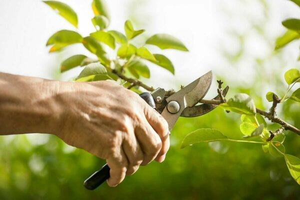 Обрізка дерев весною відео