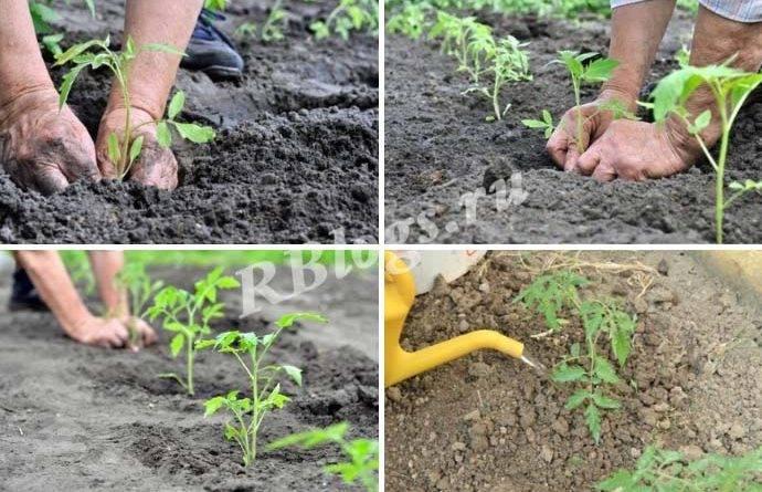 Как выращивать рассаду помидор