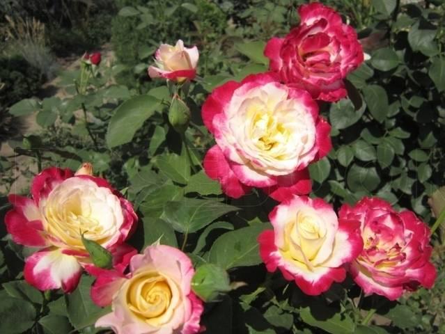 Энциклопедия роз с фото и характеристикой