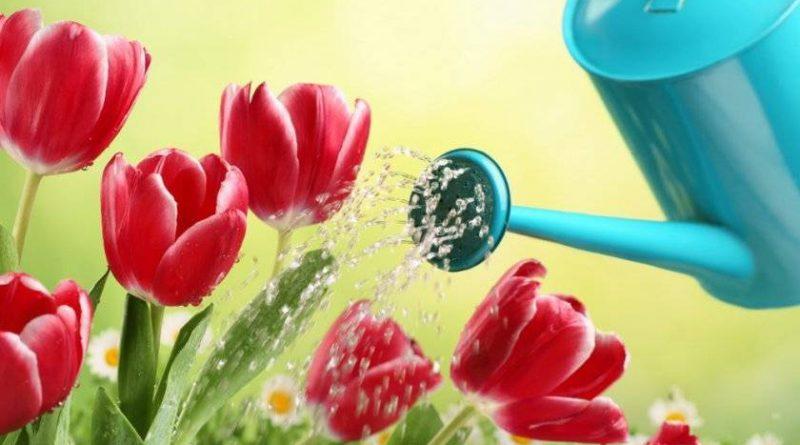 Тюльпан миранда фото