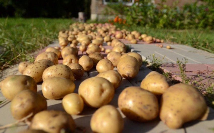 Как хранить картофель в подвале