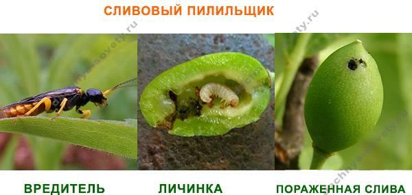 Почему слива сбрасывает плоды