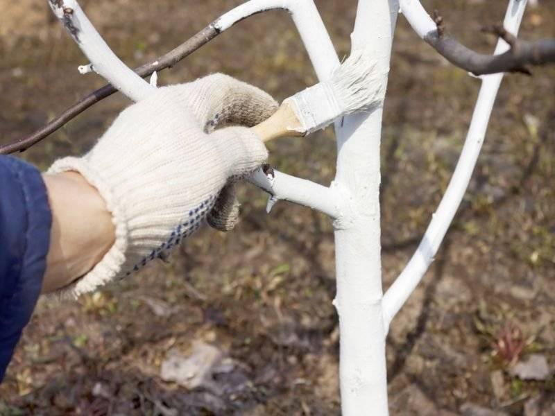 Раствор для побелки деревьев