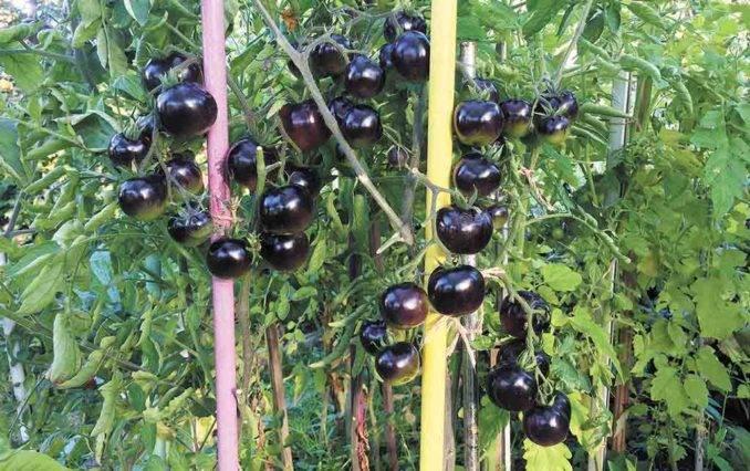 Как называются черные помидоры