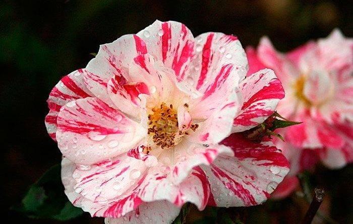 Вазон роза комнатная