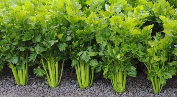 Двухгодичные растения
