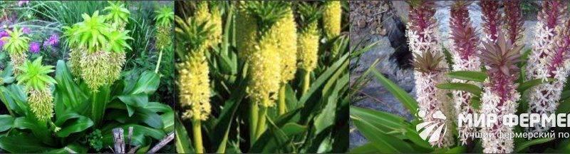 Лилии семенами посадка и уход