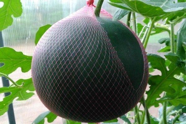 Арбуз огонёк выращивание