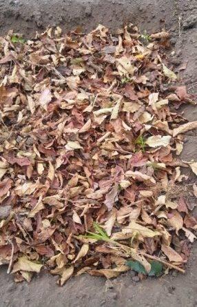 Правильная посадка чеснока под зиму