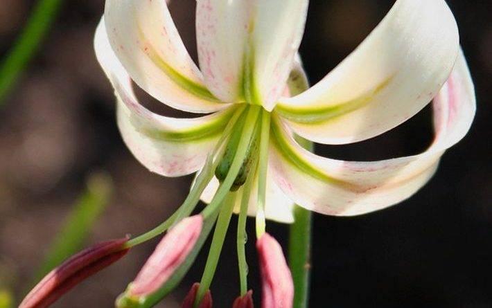 Лилия карликовая фото