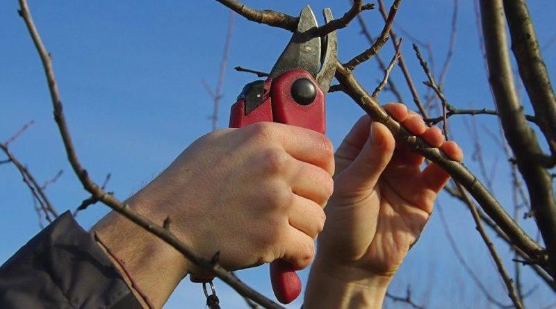 Как обрезать саженцы плодовых деревьев