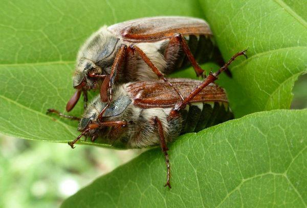 Майский жук питание