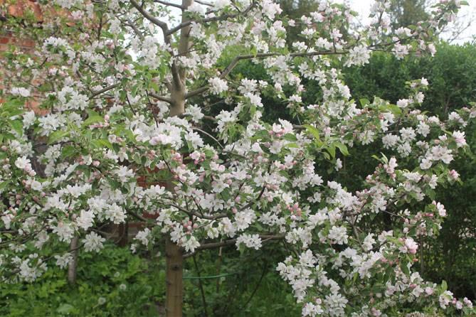 Карамельная яблоня сорт