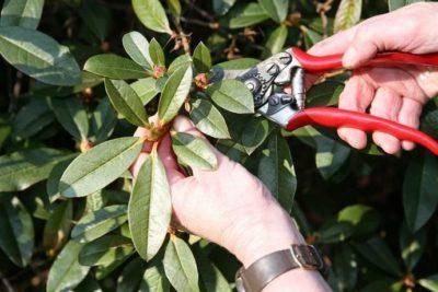 Рододендрон вечнозеленый фото