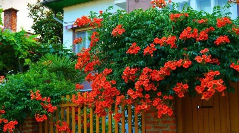 Кампсис цветок фото