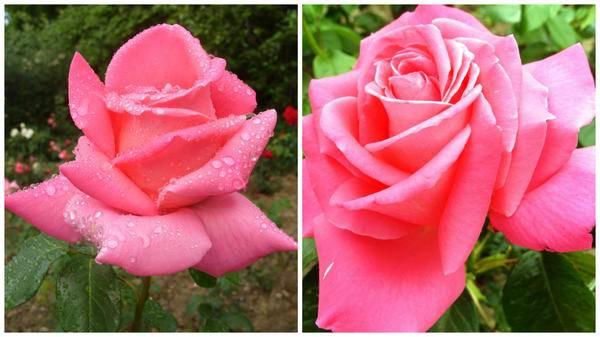 Лиловые розы фото