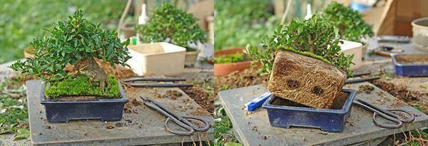 Мини деревья бонсай