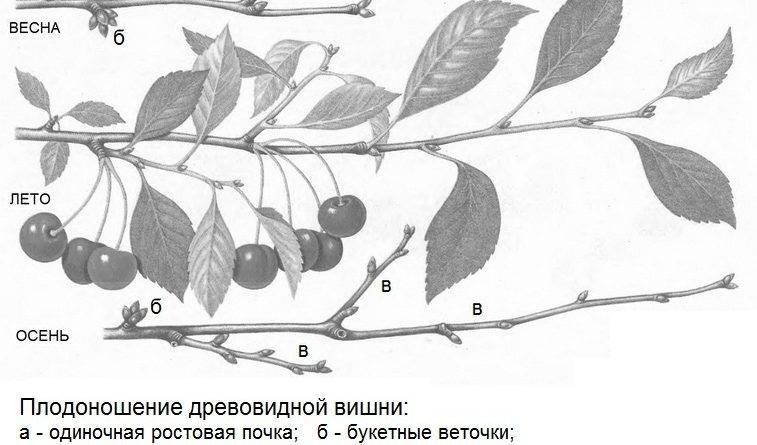 Правильная обрезка вишни