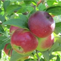 Яблоня дейтон