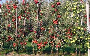 Коллоидные яблони