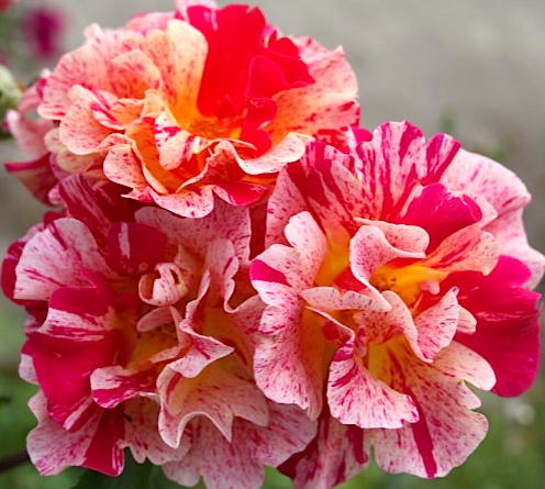 Роза экзотика фото описание