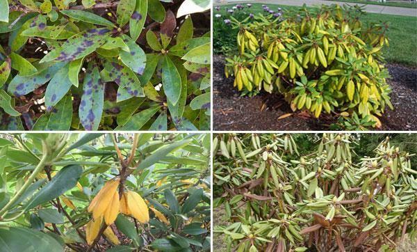 Цветы рододендроны посадка и уход