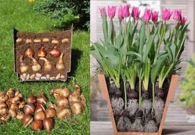 Как сажать луковичные цветы в горшках