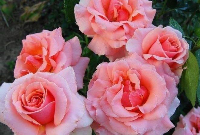 Розы грандифлора сорта фото