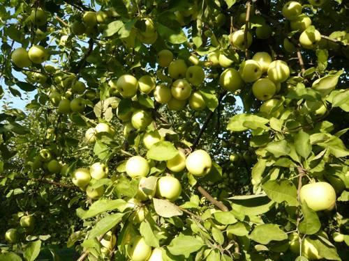 Яблоки зимний банан фото