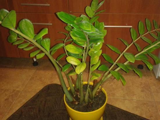 Как посадить замиокулькас листочком