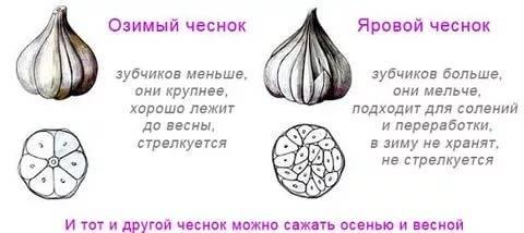 Сорта ярового чеснока в украине