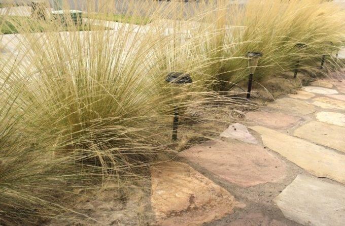 Ковыль трава фото