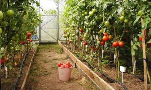 Технология выращивания помидоров в теплице