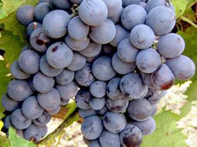 Зимостойкие сорта винограда в украине