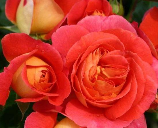 Роза братья гримм фото