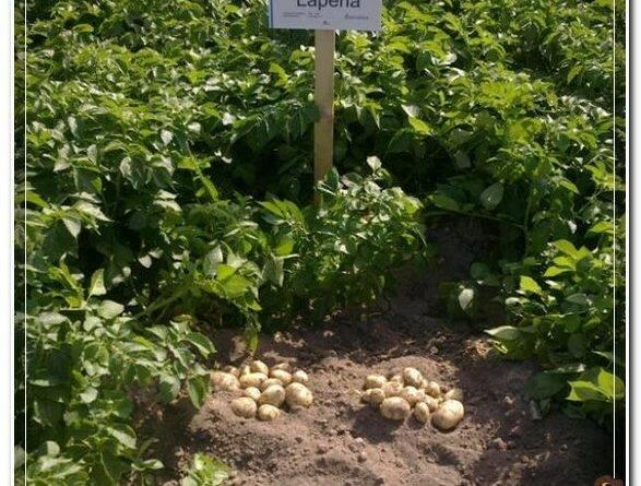 Какие культуры можно сажать после картофеля