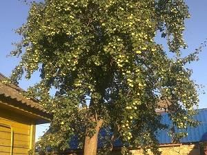 Обрезка саженцев яблони осенью