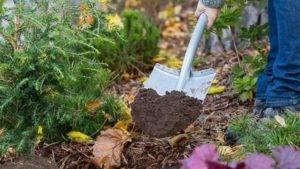 Чем удобрять хвойники осенью