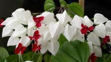 Цветок белый с красной серединой как называется