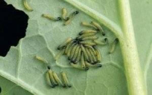 Борьба с вредителями капусты